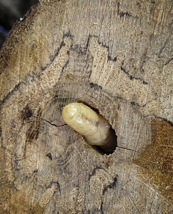Wood Borers - Click here to view this news entry